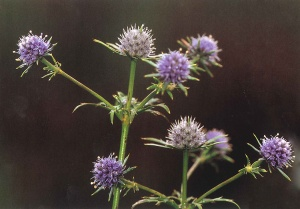 Blue-Flower Coyote-Thistle