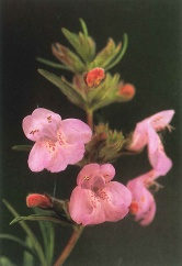 Cumberland Rosemary