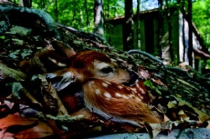 May 29, 2007.Newborn fawn near the wildwood cottages at Lake Cumberland State Resort Park.