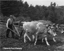 """Give me oxen any day for my plow in',"" said Newton Hylton. ""Oxen are stronger and more steady than mules and not as cantankerous and honery. A mule will work for just so long, then kick the pants right off a feller first chance he gets."""